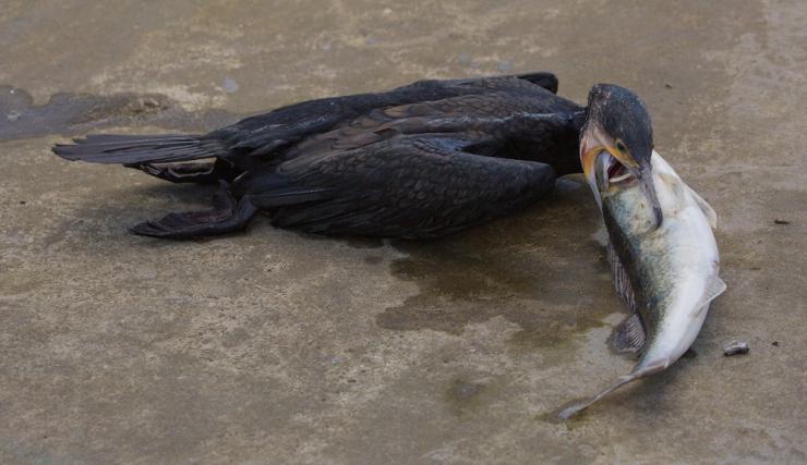 Cormorant and fish