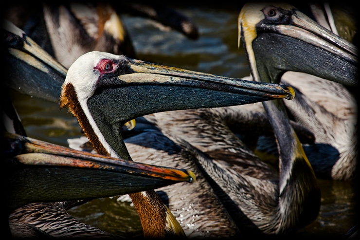 Pelicans by The Photo Nomad