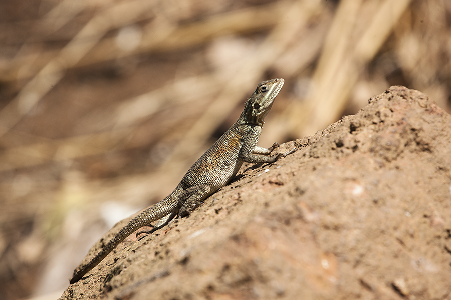 The Lizard by The Photo Nomad