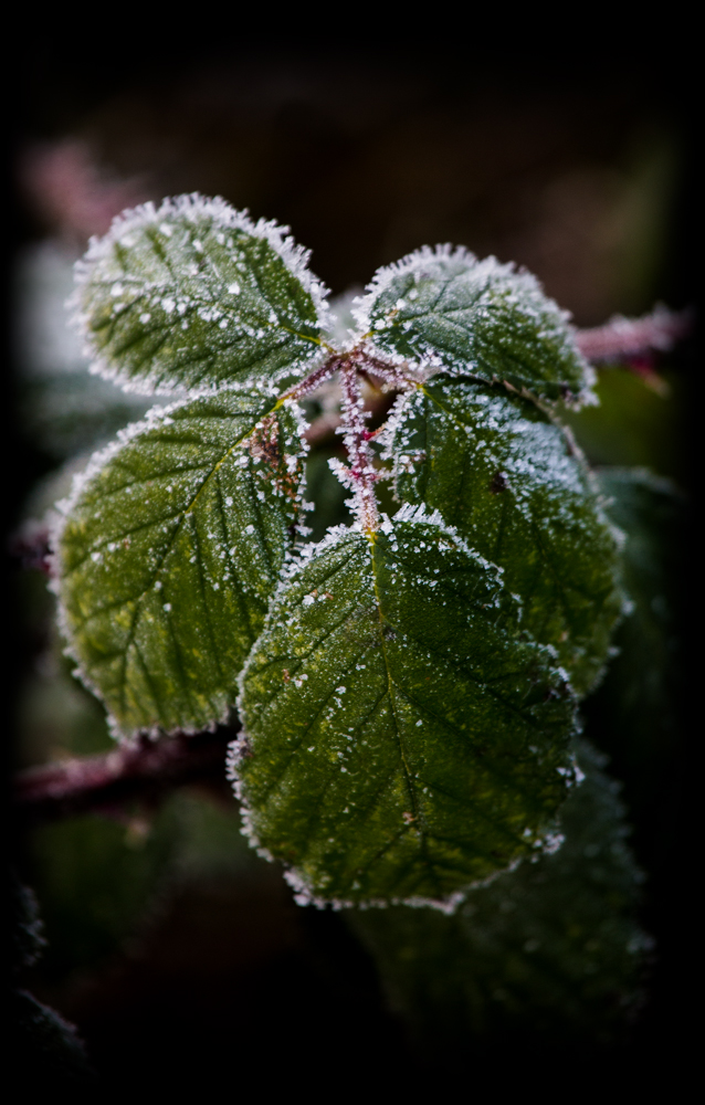 The Frosty Leaf