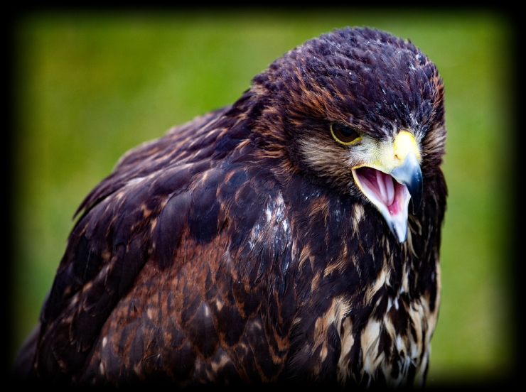 The Hawk Squawks...