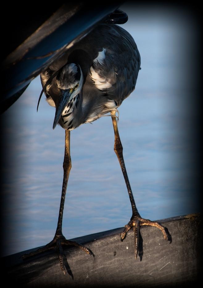 The Sneaky Heron