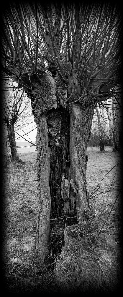The Old Hollow Tree