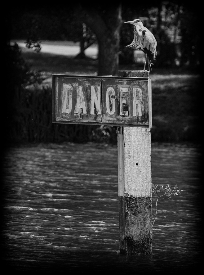 The Dangerous Heron
