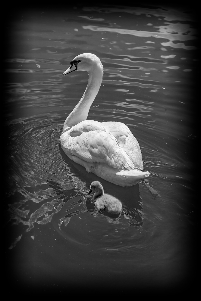 The Swan and the Mini-Swan