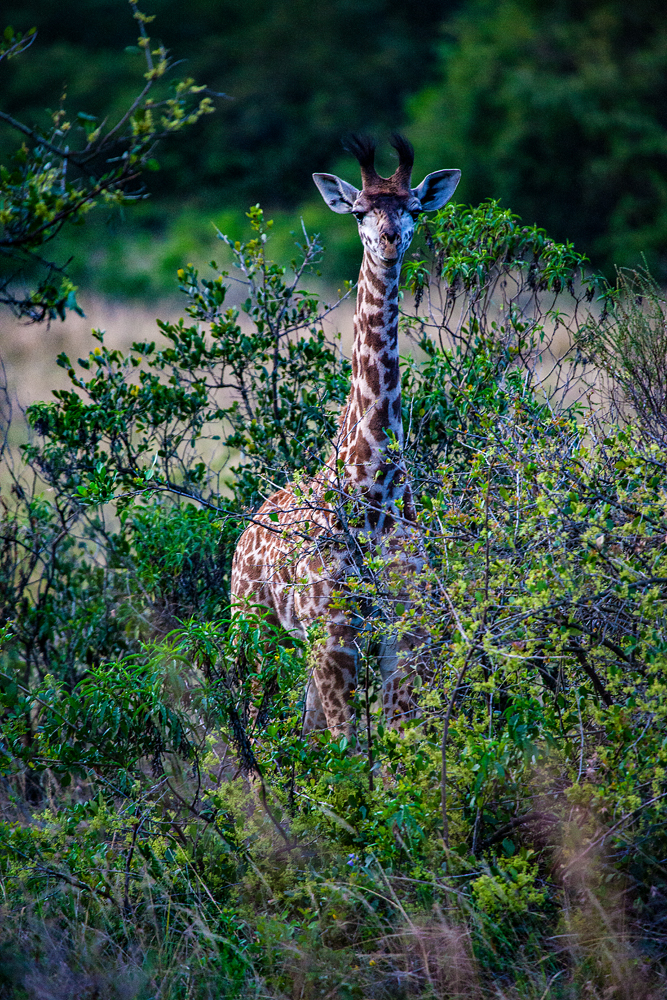 The Tall Chap Hiding In The Bush...