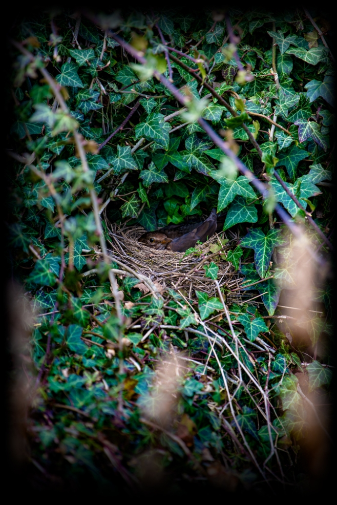 The blackbird in her nest...