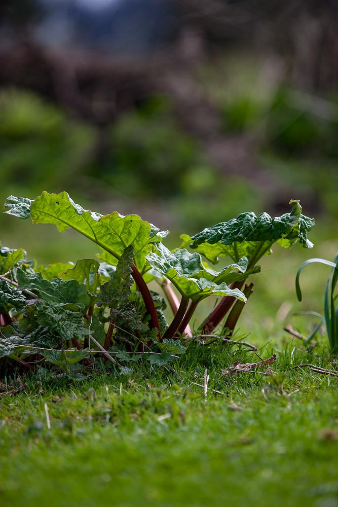 The Rhubarb