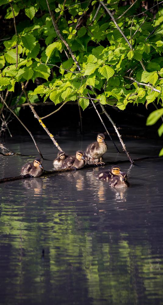 The Ducks on a Stick