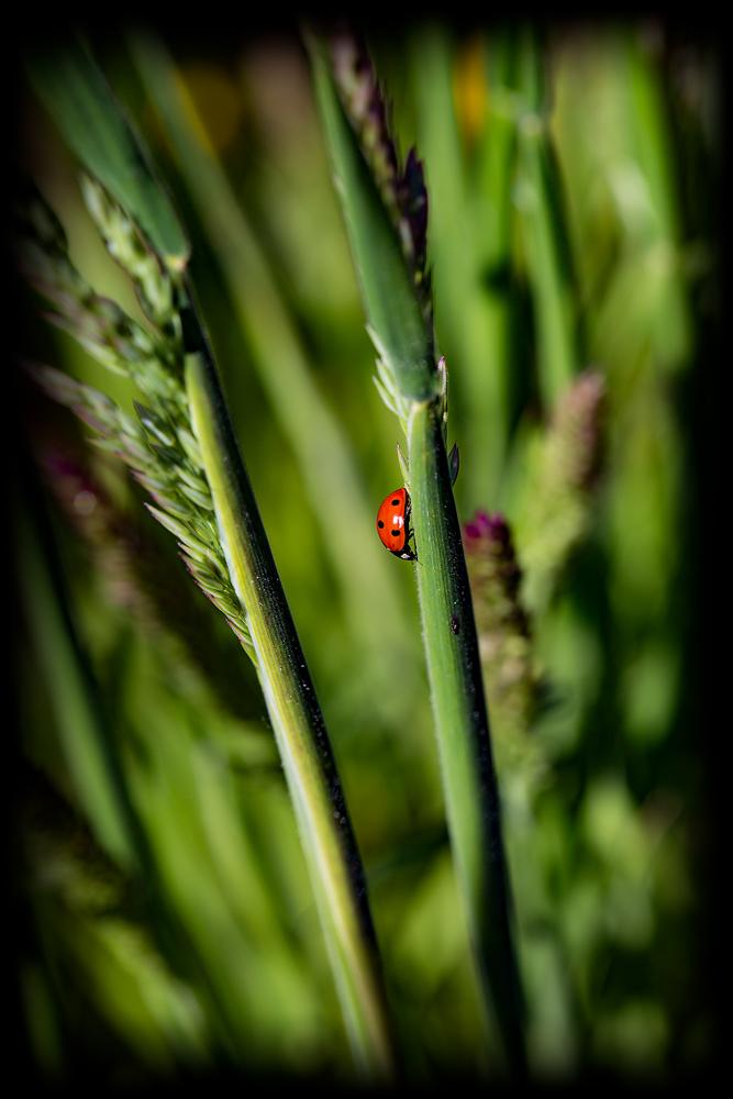 The Ladybug (or Lady Bird?)
