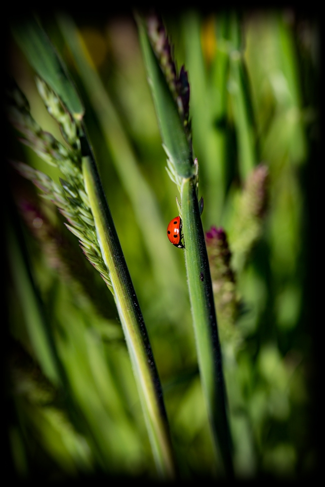 The Ladybug (or Lady Bird?)