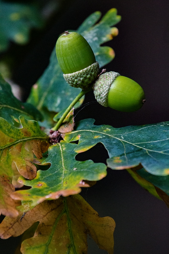 The Other Acorns