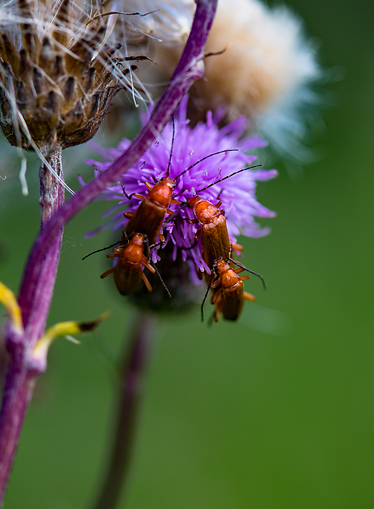 The Sex Fest on a Thistle