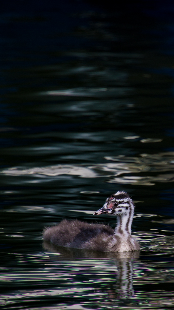 The Baby Grebe