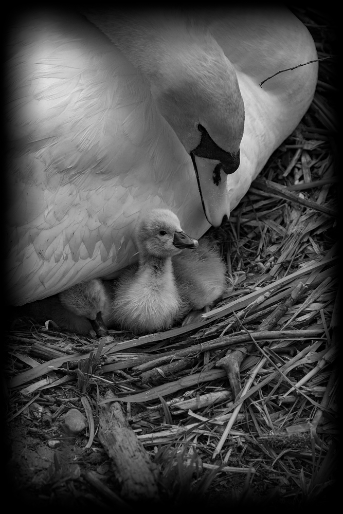 The Cygnet