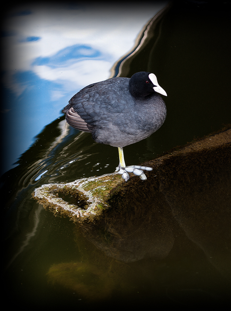 The One Legged Coot