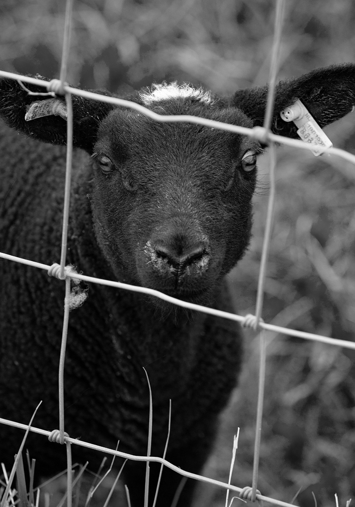 The Black Sheep (behind bars)