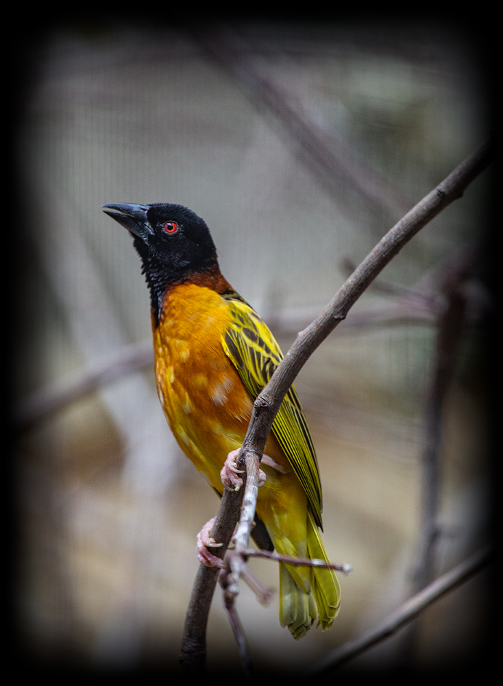 The Weaver Bird