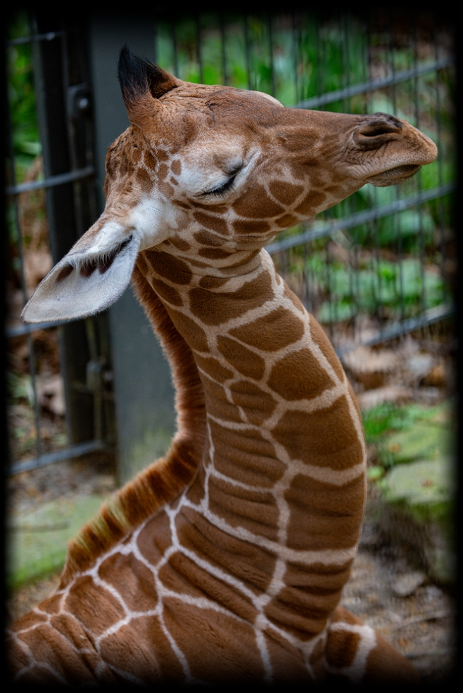 The Snoozing Giraffe