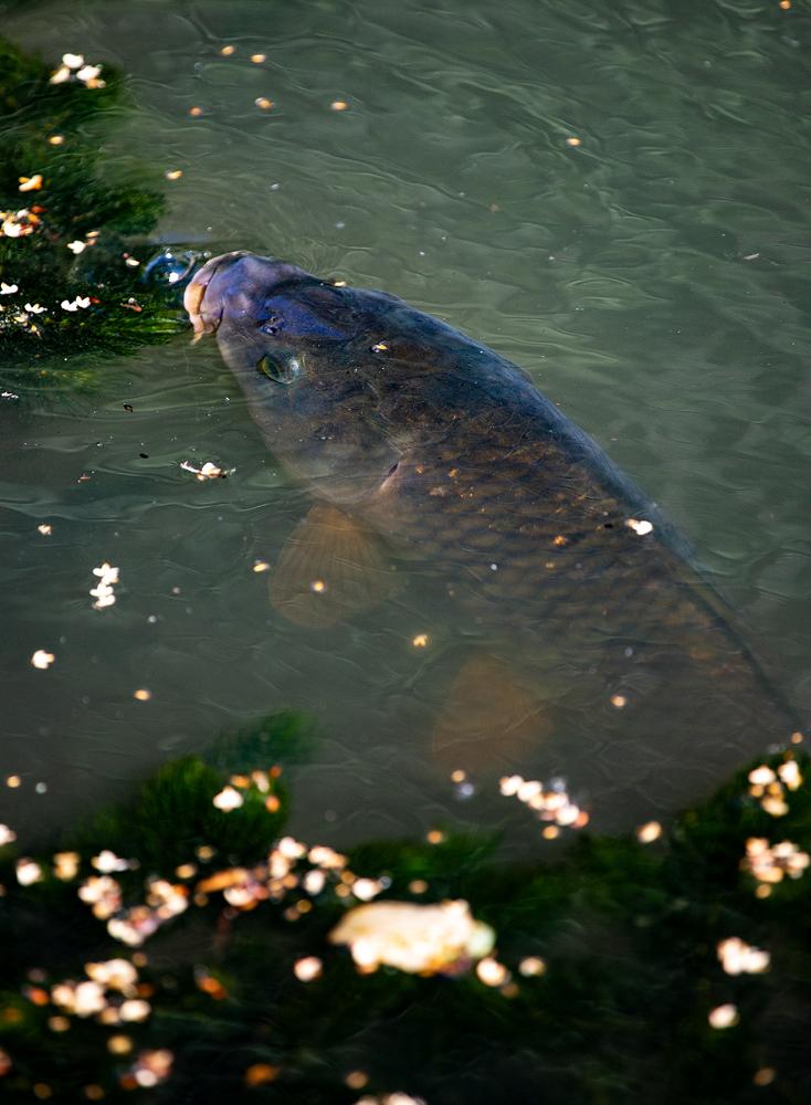 The Fishy Little Chap