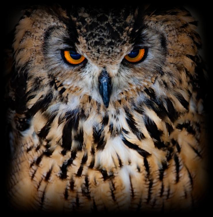 The Owl (1)