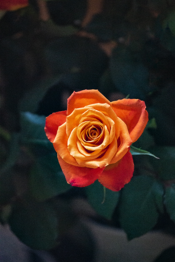 The Rose - Richard Broom Photography