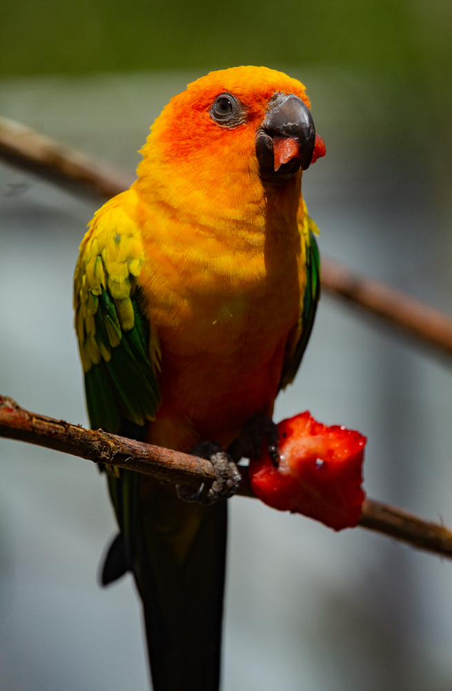 The Strawberry Easting Orange Chicken - Richard Broom Photography
