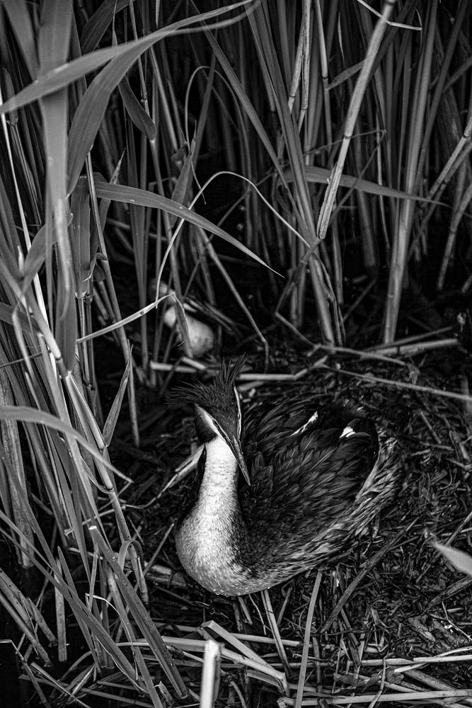 The Chicken in the Reeds - Richard Broom Photography