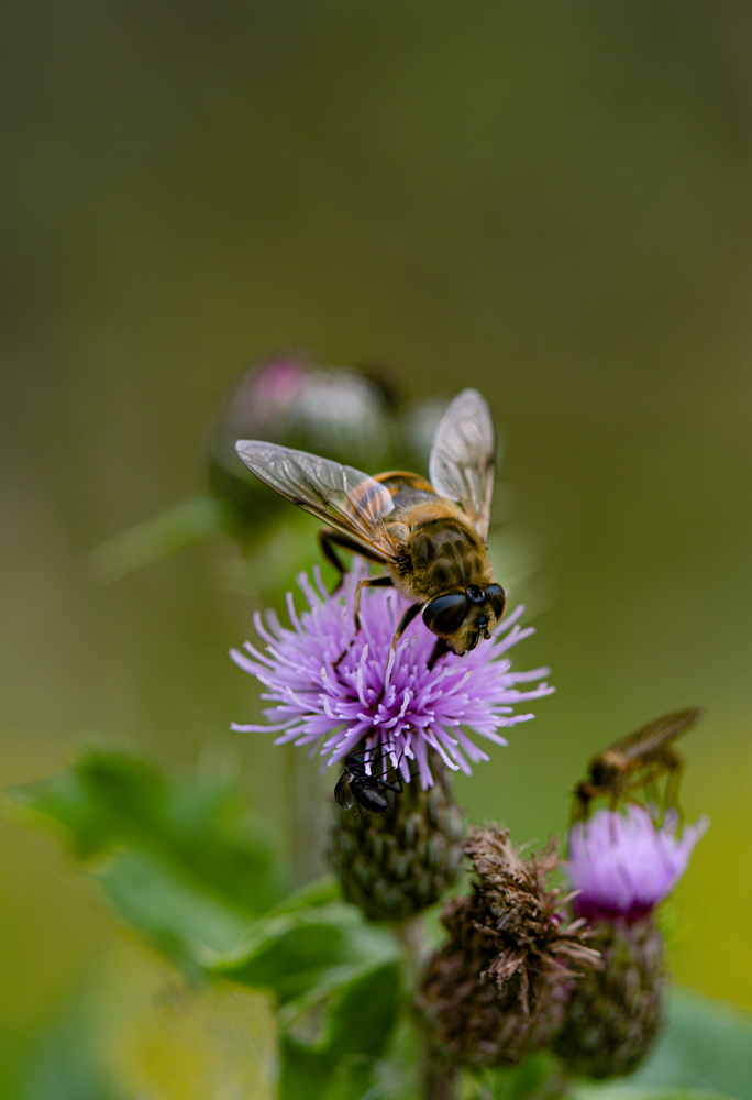 The Bee and the Thistle - Richard Broom Photography