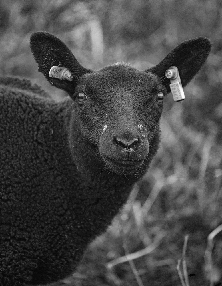 The Black Sheep - Richard Broom Photography