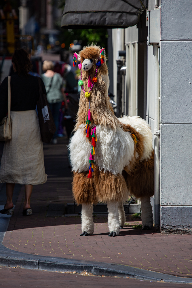 The Dangerously Ferocious Llama on the Loose! - Richard Broom Photography