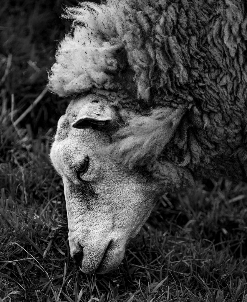 The Sheep - Richard Broom Photography