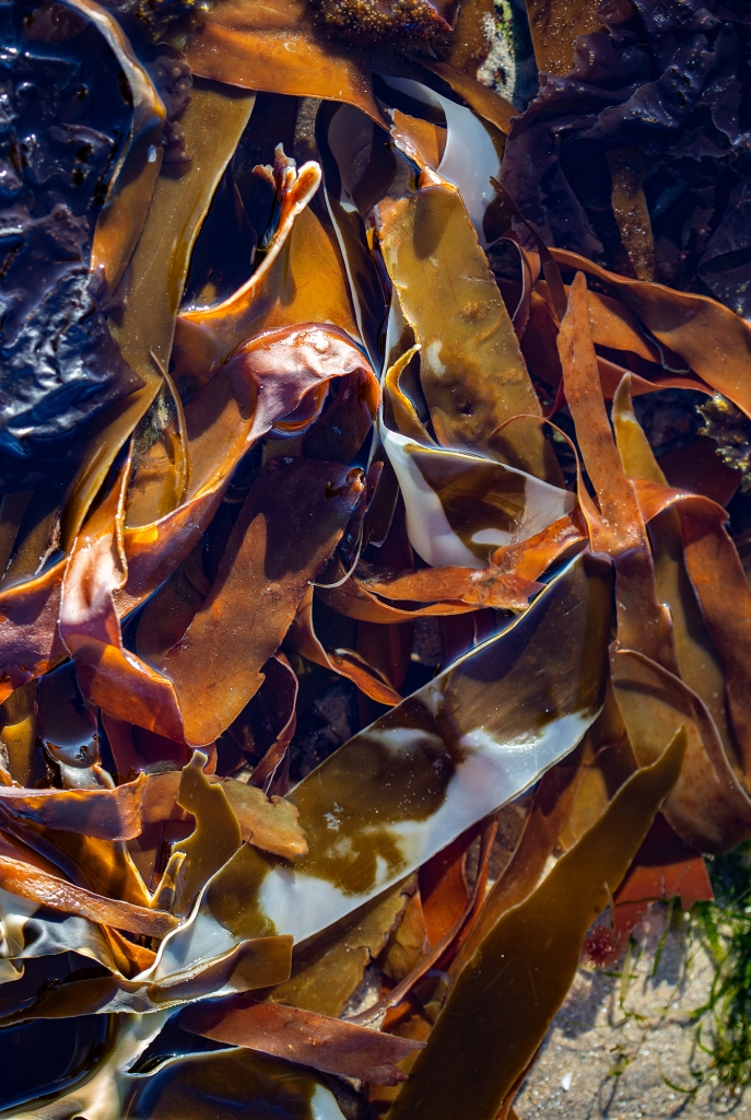 The Rock Pool Diaries (3) – The tagliatelle seaweed - Richard Broom Photography