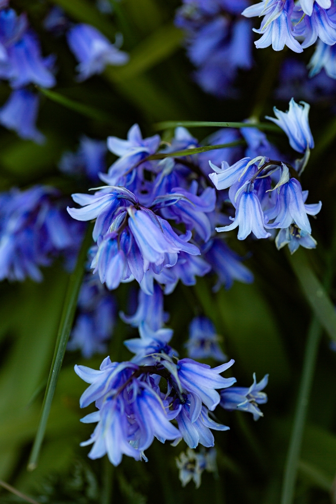 The Bluebells - Richard Broom Photography