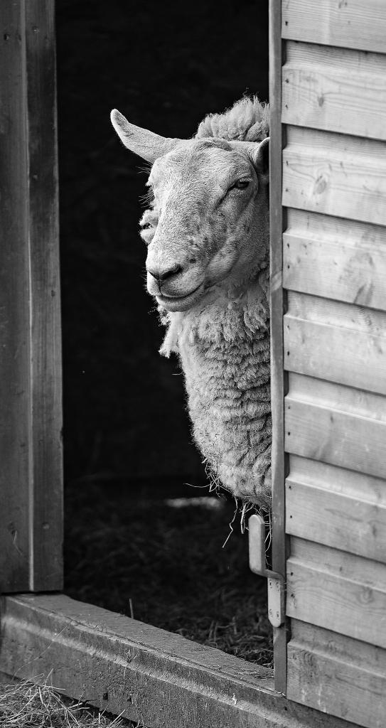 The Peeping Sheep